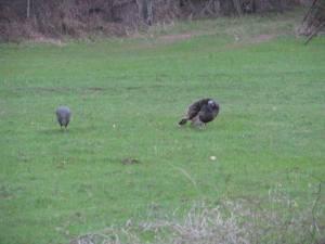 Turkey hens