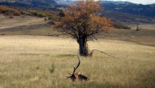 New Mexico Bull Elk Hunt