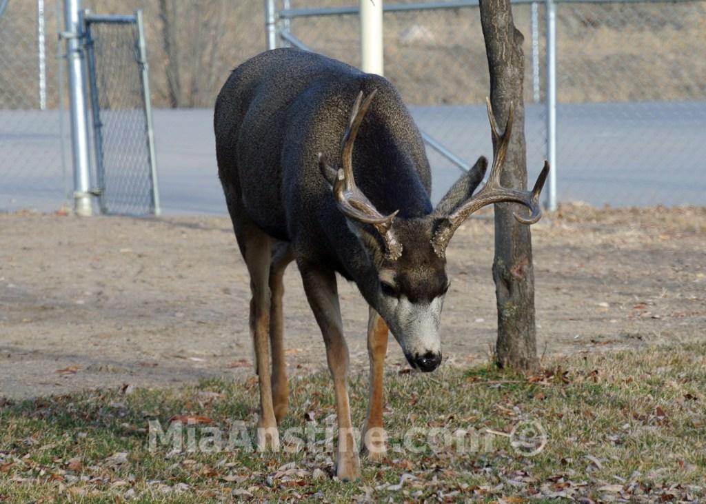 Mule deer buck Colorado