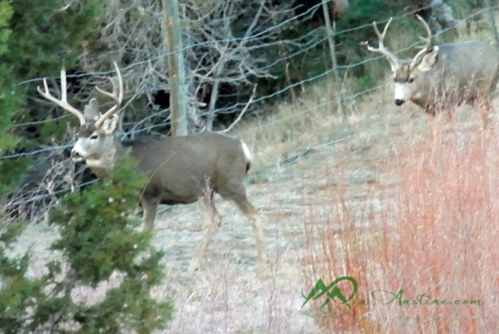 As we stalked the two big boys, these smaller bucks crossed, directly in front of us.