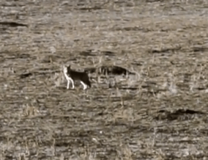 Coyote carrying prairie dog