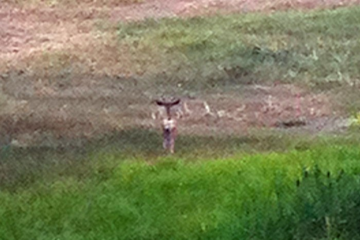 young-mule-deer-buck