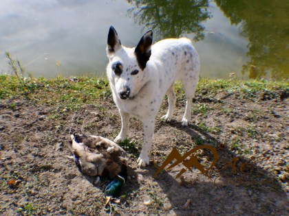 Australian-Cattle-dog-retrieves-mallard-duck-by-Mia-Anstine