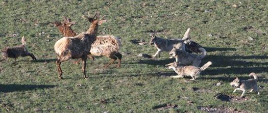 wolves_chase_elk_rmef-photo