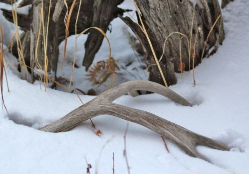 shed-antler-snow-cpw-9cb2f6d7-ef31-4c8b-bf58-061ded27fe69