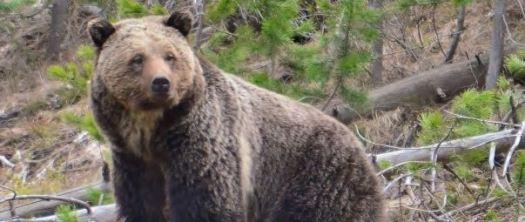Griz_062217-Rocky-Mountain-Elk-Foundation-photo