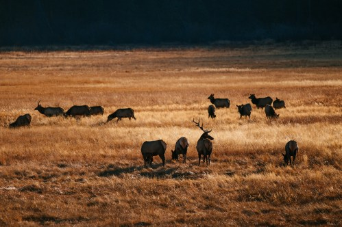 Colorado-elk-herd-sunrise-CPW-photo-23da6d15-7777-4446-adbc-744cdf44728b