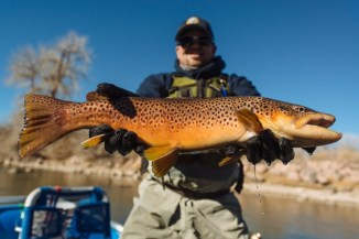 CPW aquatic biologist Paul Foutz displays a large brown trout netted, measured and weighed during the Arkansas River fish survey. Photo by Mike DelliVeneri/CPW