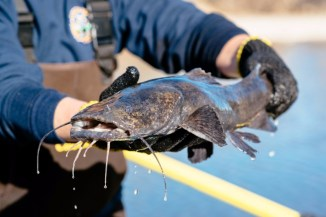 A large flathead catfish was among the hundreds of fish netted, measured and weighed each day during the week-long Arkansas River fish survey. Photo by Mike DelliVeneri/CPW