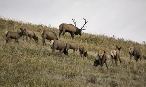 076805461-wild-elk-stock