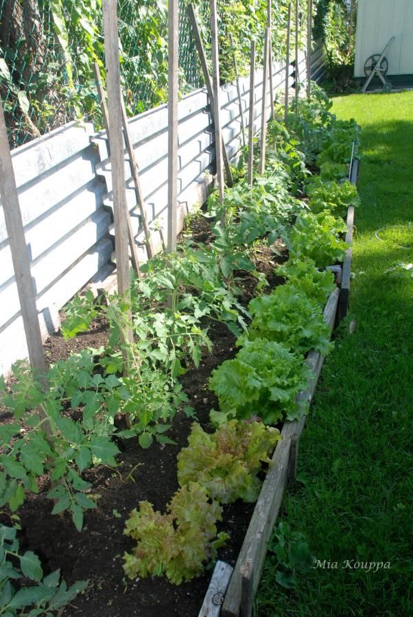 Fresh garden lettuce