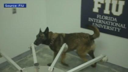 FIU COVID Dog 1