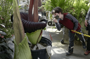 Sniff a Corpse Flower Behind the Old Family Video This Weekend