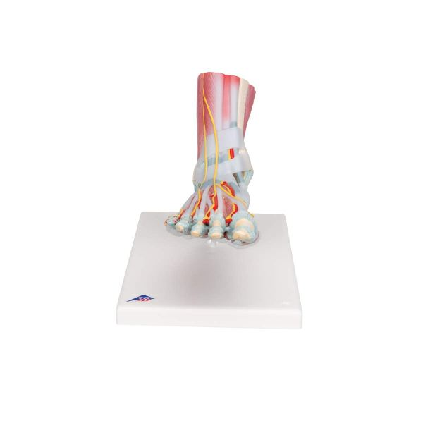 3B Scientific M341 Foot Skeleton Model with Ligaments and Muscles