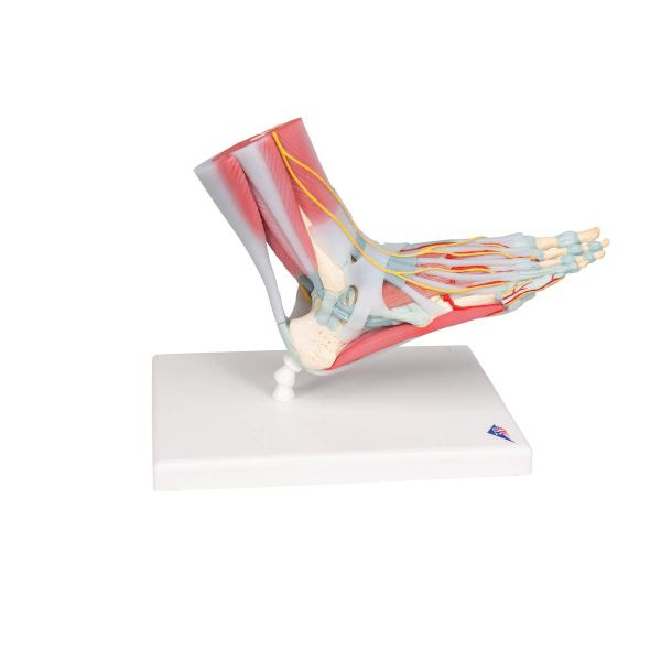 3B Scientific M341 Foot Skeleton Model with Ligaments and Muscles3