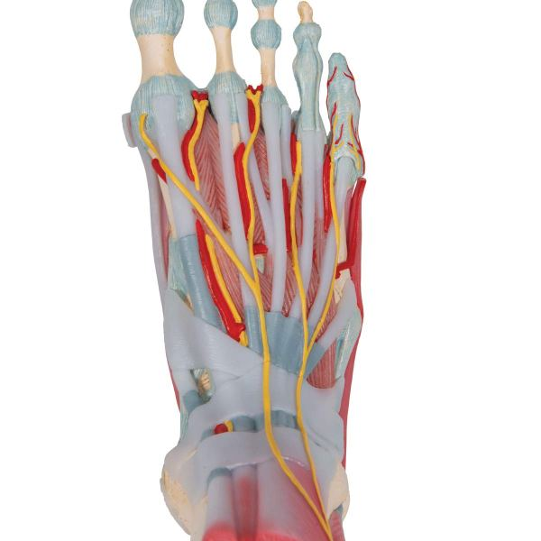 3B Scientific M341 Foot Skeleton Model with Ligaments and Muscles9