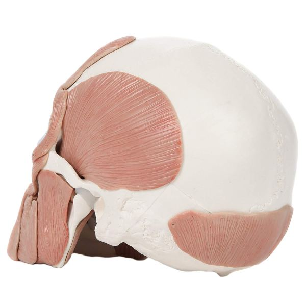 Axis Scientific 3-Part Human Skull Model with 40 5