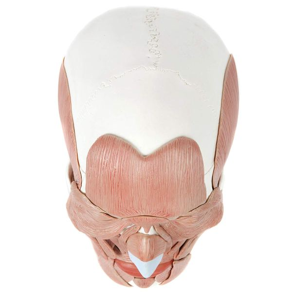 Axis Scientific 3-Part Human Skull Model with 40 6