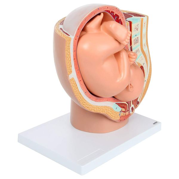 Axis Scientific Anatomy Model of Pregnancy Pelvis3