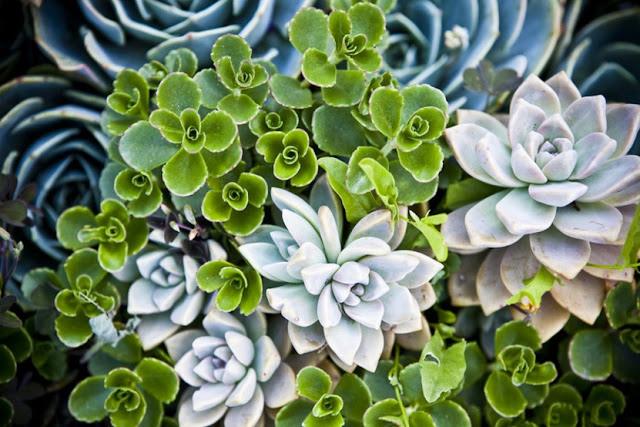 Succulents Mia Rao Design