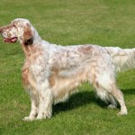 English Setters What's Good About 'Em, What's Bad About 'Em