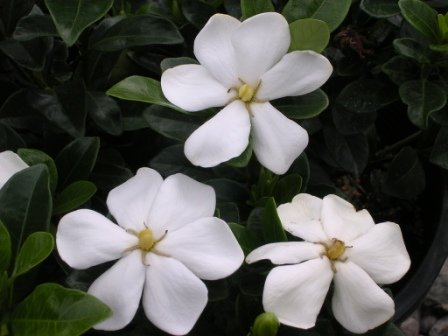 toyota-gardenia
