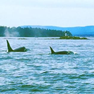 Orca spotting in Van