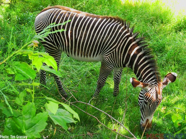A photo of a Grevy's Zebra from the same exhibit last June