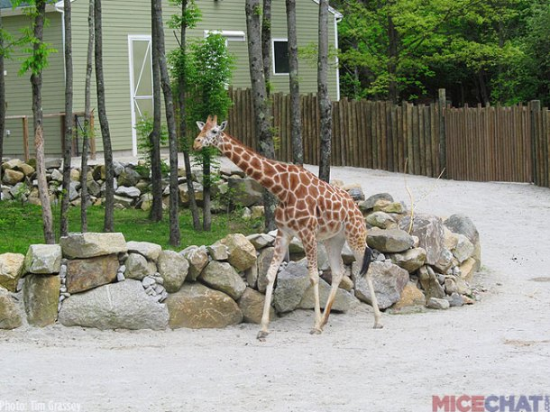 A few years ago, they built a new exhibit for their Reticulated Giraffes. For a small fee, guests are able to feed the Giraffes at select times of day.