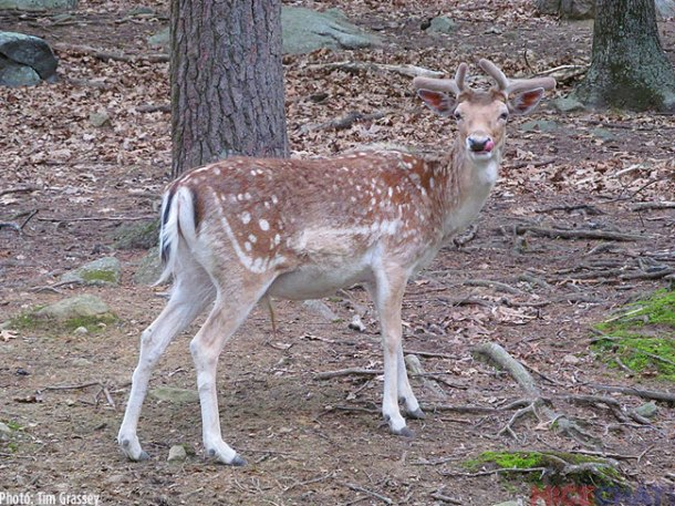 One of the highlights for children at Southwick's Zoo is the 35 acre deer forest. Free roaming deer will walk up to guests provided they're armed with a handful of corn.