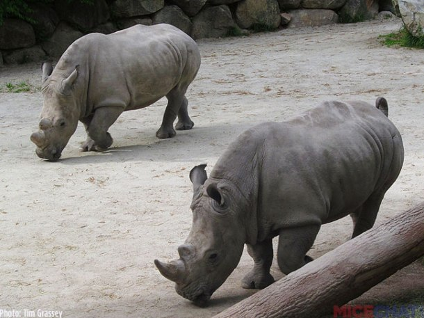35-White-Rhinoceros