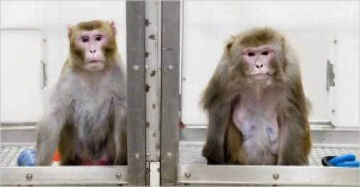 Canto, left, a 27-year-old rhesus monkey, is on a restricted diet, while Owen, 29, is not. The two monkeys are part of a study of the links between diet and aging.