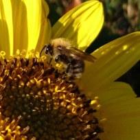 Eine Pelzbiene im Spätsommer