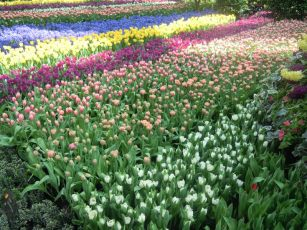 Flower Dome tulips