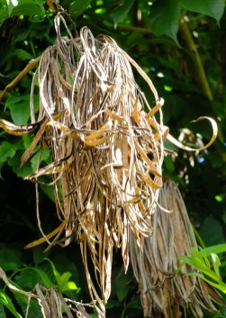 Chicalá dried seed beans