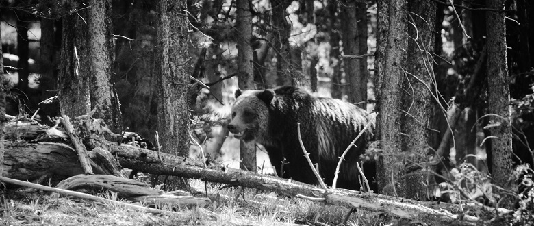 A Grizzly Encounter