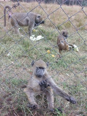 Monkeys at Munda Wanga Zoo
