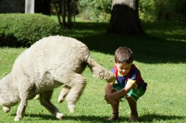sheep and child