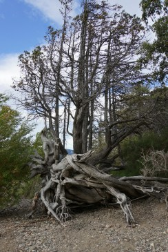 Tree on Lago Lacar