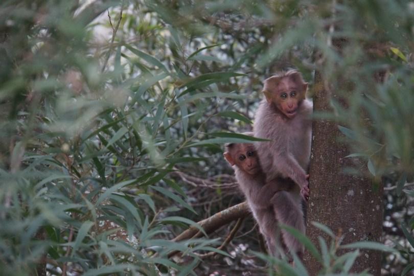 Kodai Monkey 2