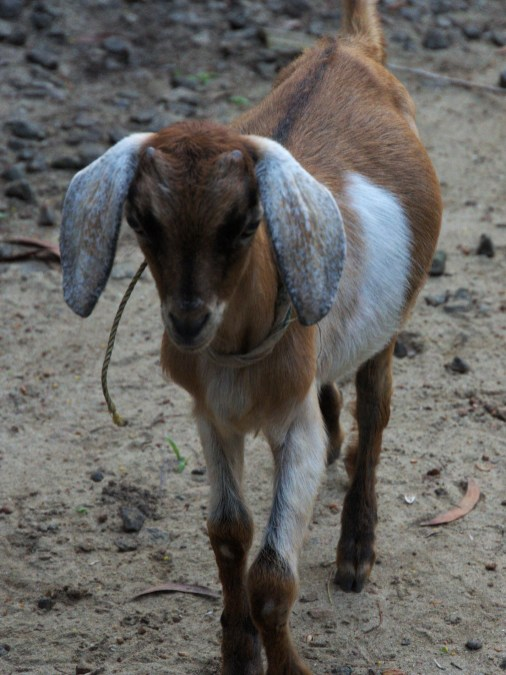 Backwater Goat