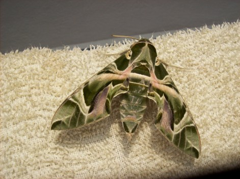 Army Green Moth