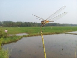 Golden Ringed Drangonfly