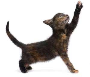 tortoiseshell kitten reaching up