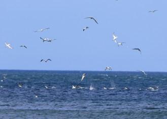 Gannets at Robin Hoods Bay.