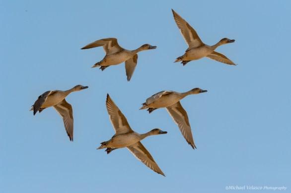 Duck flight sequence