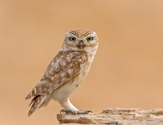 classic owl pose