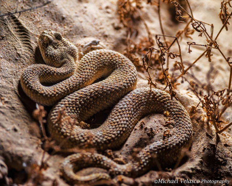Arabian Horned Viper in ambush mode, waiting for a prey to come along.