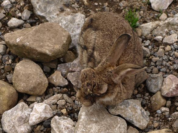 Rabbit dying of Myxomatosis
