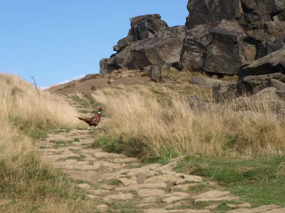 Pheasant at the Wain Stones